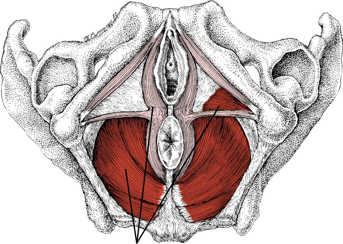 Anatomy of the pelvic floor muscles
