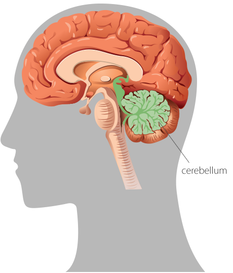 A graphic representation of the human brain in profile