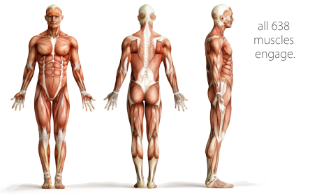 A graphic representation of the human muscular system from three perspectives