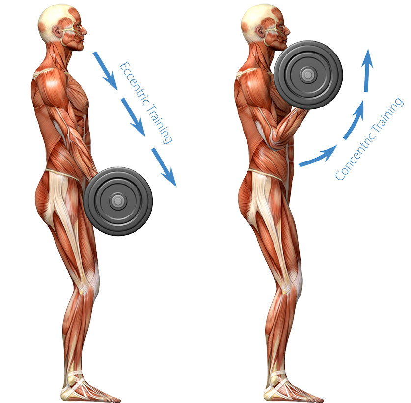 muscle building: a full body workout for all 638 muscles, Muscles